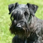 El terrier checo tiene una mirada muy dulce