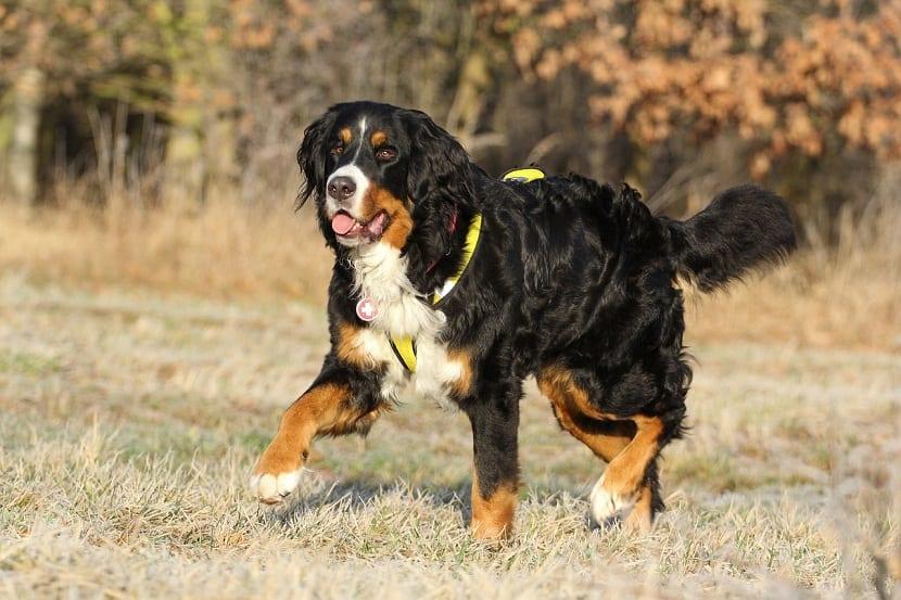 razas de perros que cuidan el ganado