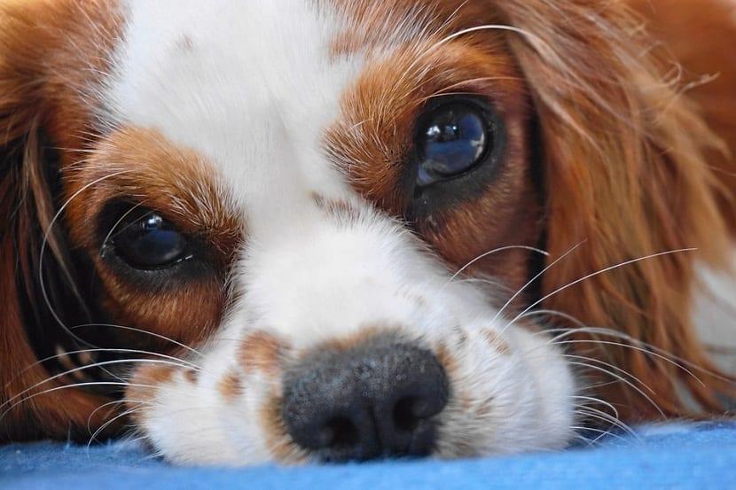 La thelazia en los perros