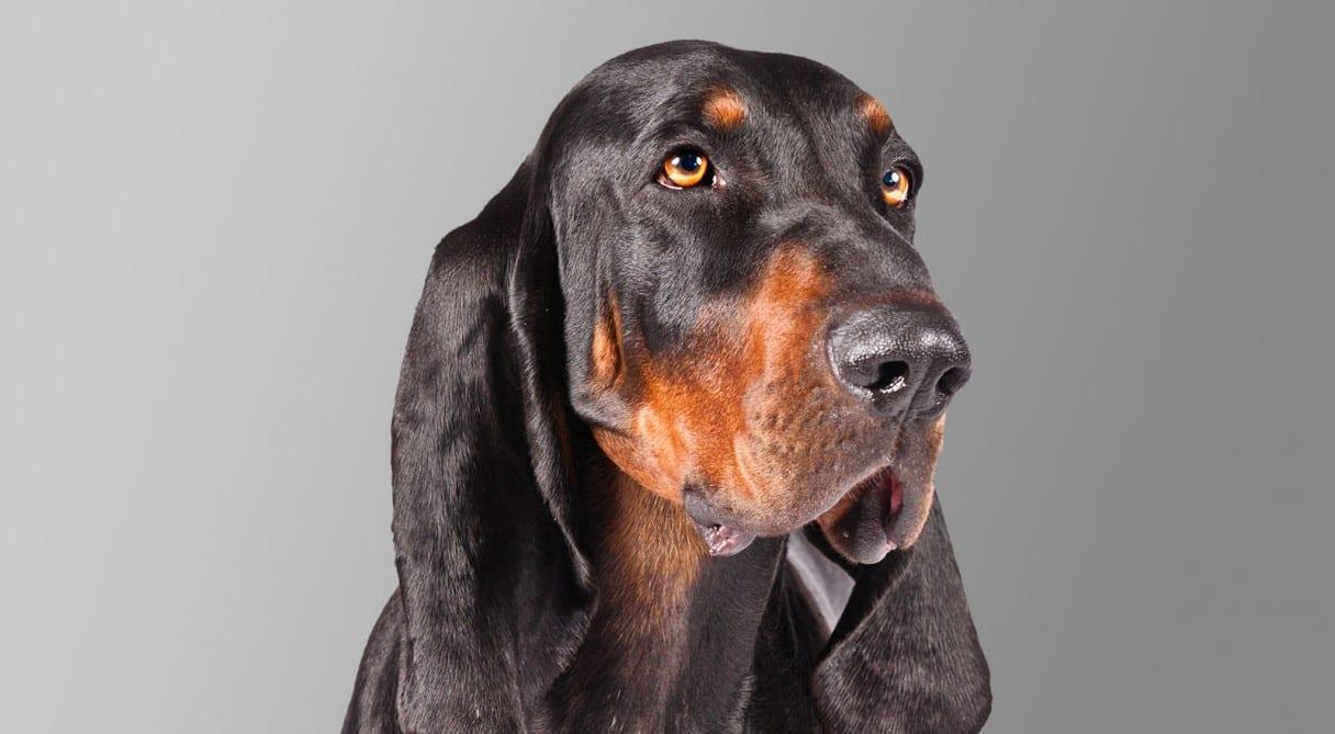 Cuida a tu Black and Tan Coonhound para que pueda ser feliz