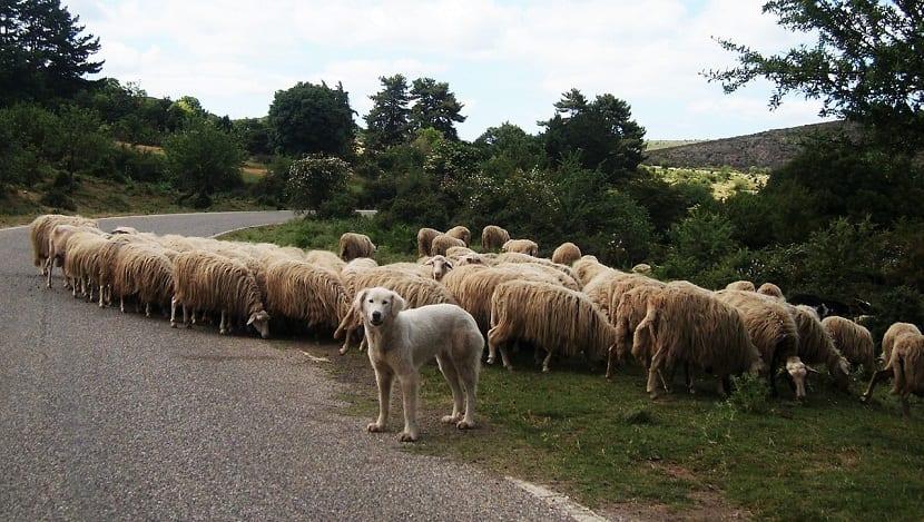 Perros de pastoreo