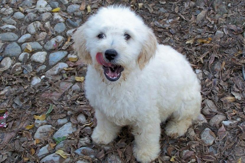 Cachorro de perro de aguas español