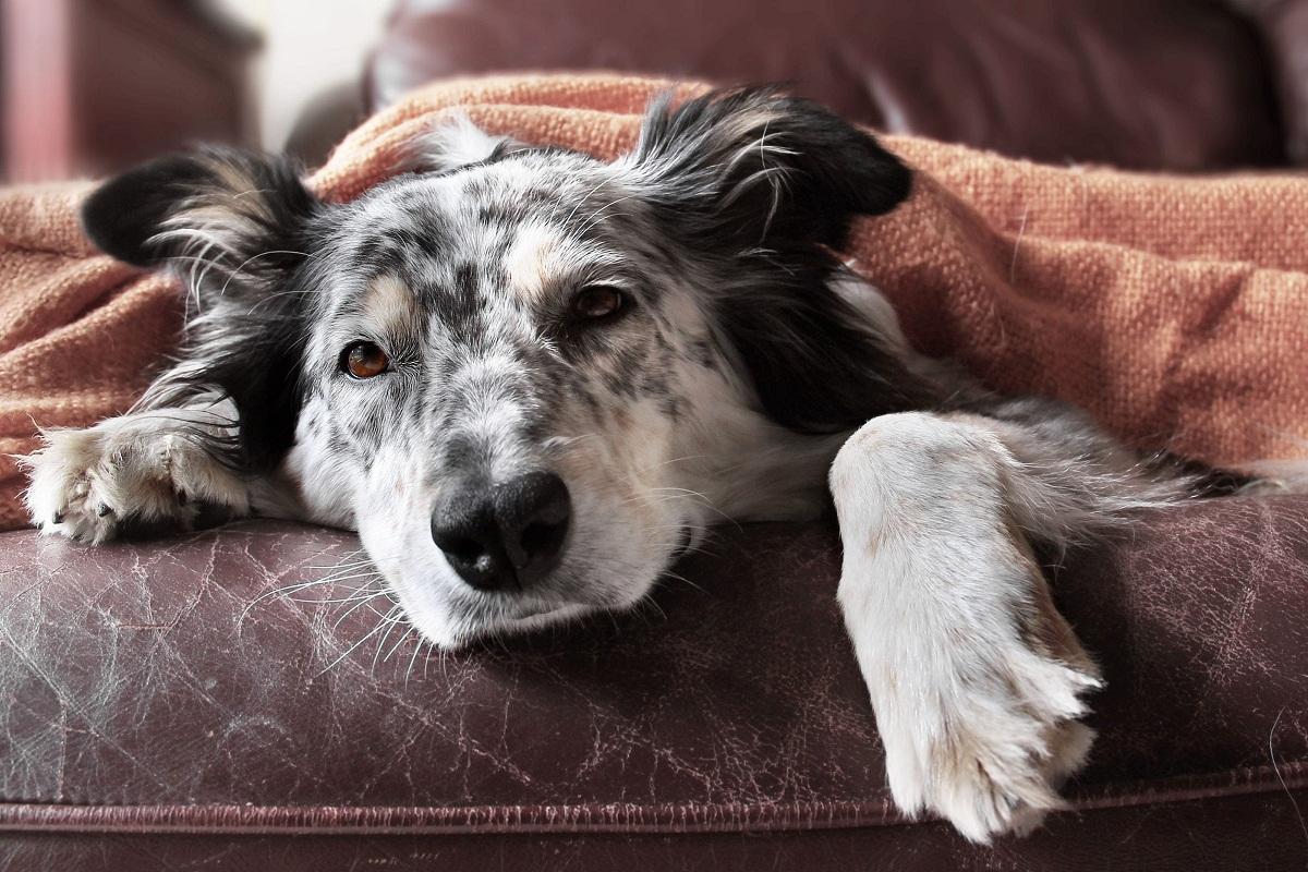 Lleva a tu perro al veterinario si sospechas que le duele la tripa