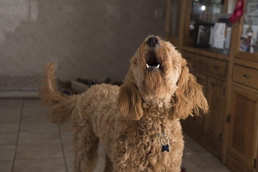 Enfermedades que hacen que un perro deje de ladrar
