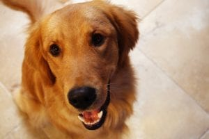 Los perros grandes suelen tener una esperanza de vida más corta que los pequeños
