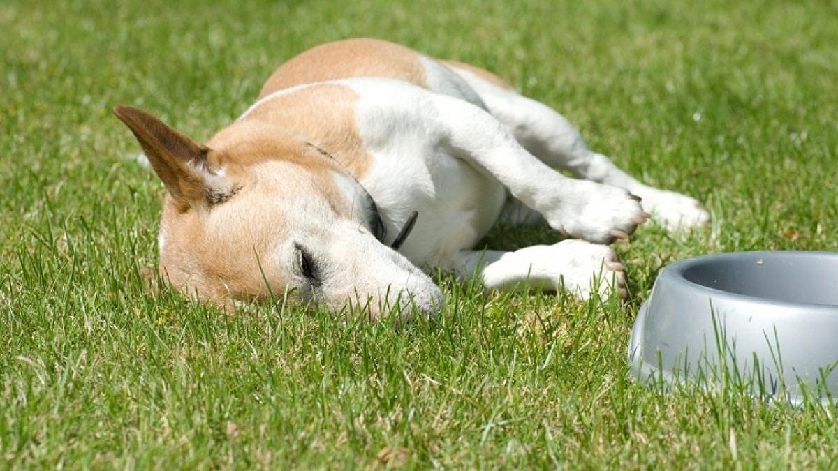 Las tripas de tu perro pueden sonar