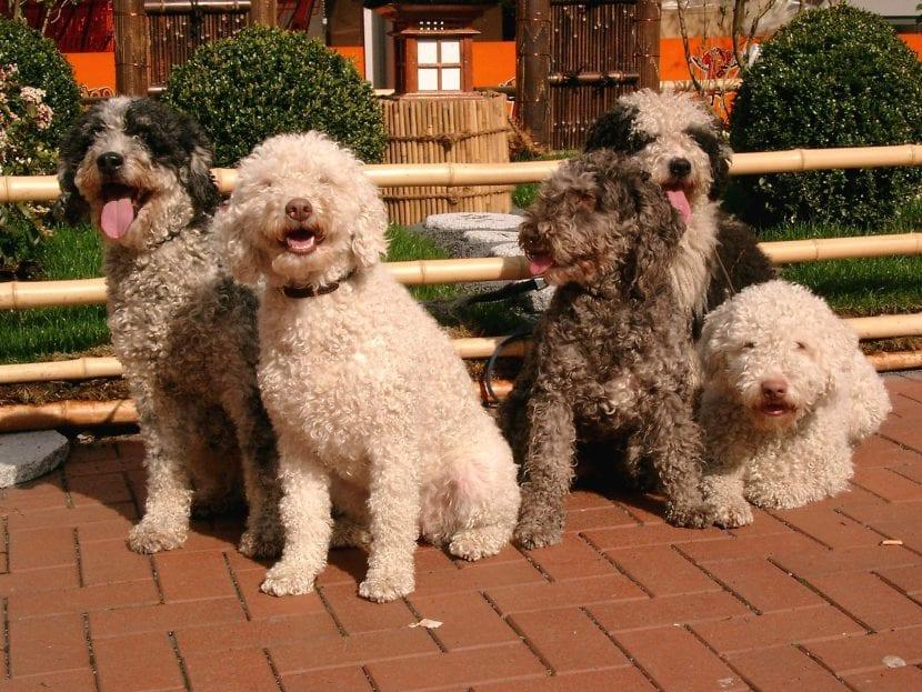 Perros de agua españoles