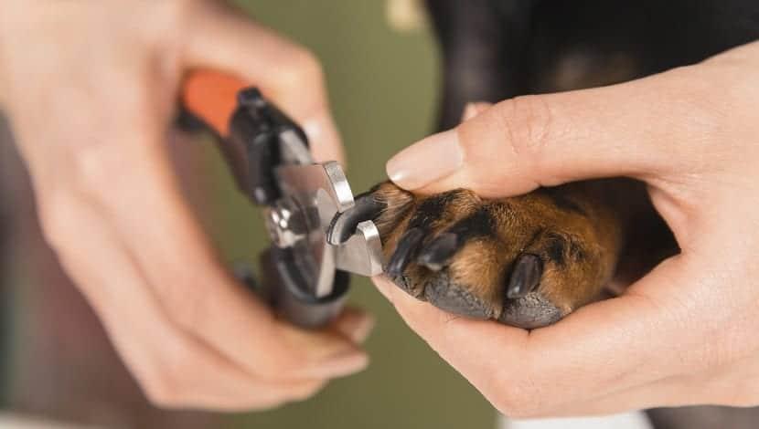 Aprende a cortar las uñas de tu perro en casa