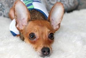 Sintomas de la thelazia en perros