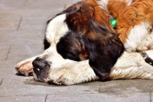 perro adulto con barriga hinchada y dura