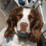 El Springer Spaniel es un perro muy inteligente