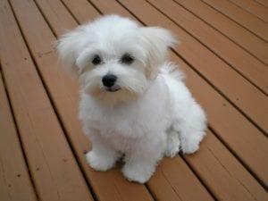 Cachorro de maltés