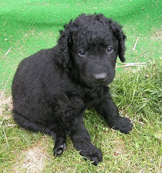 Precioso cachorro de Retriever rizado de pelo negro