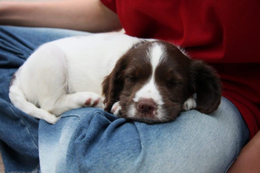 El cachorro de Springer Spaniel es dormilón