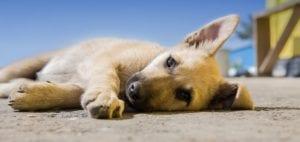 Cachorro tumbado