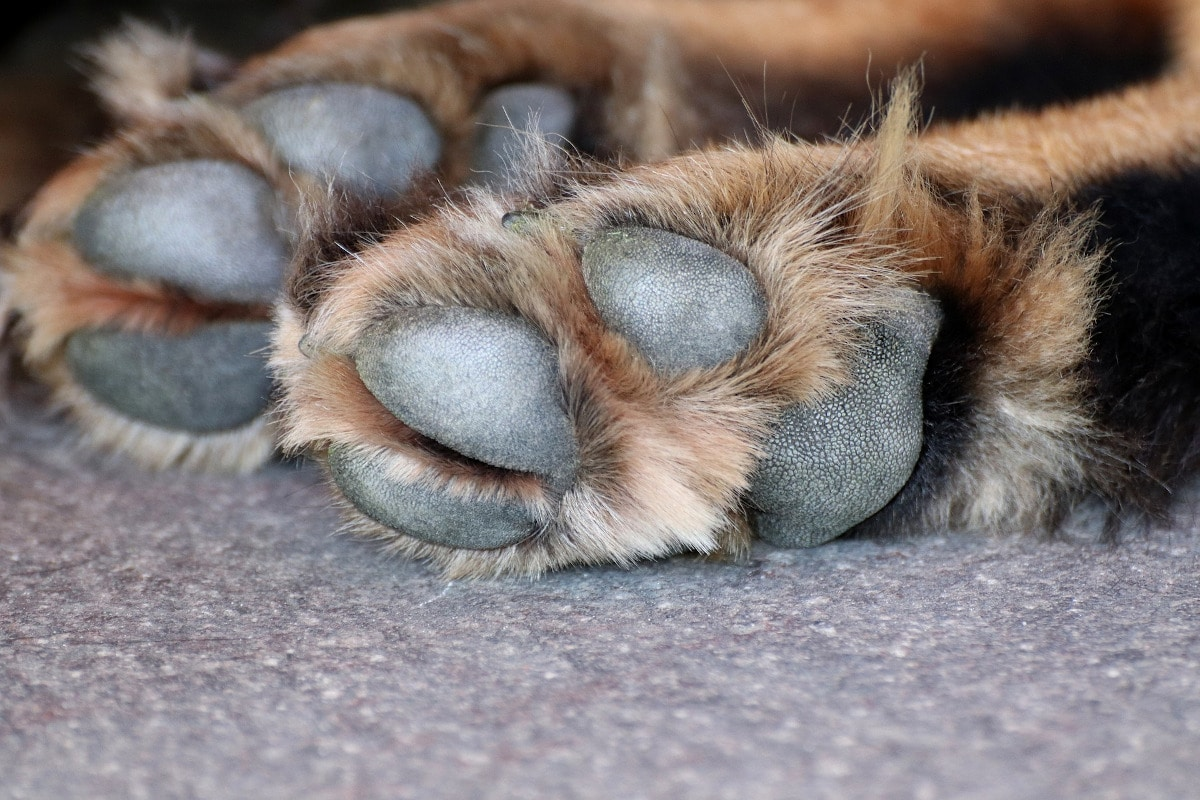 Las patas son una parte vulnerable del cuerpo del can