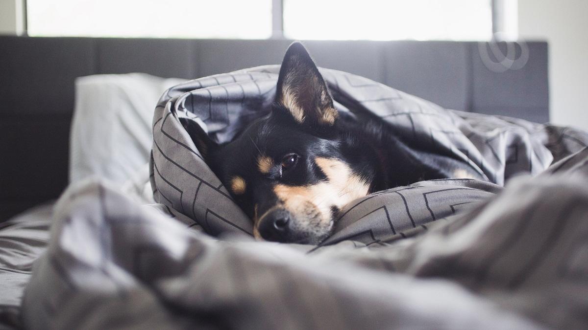 Perra deprimida en la cama