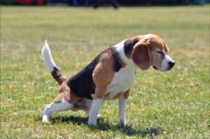 Tu perro puede tener dolor en el pene cuando orina
