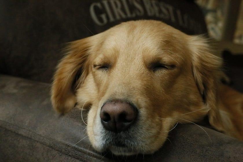 perro que duerme todo el dia