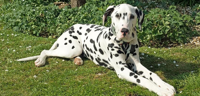 Perro con sordera