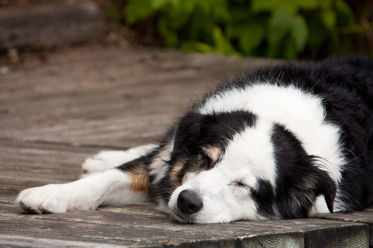 Si tu perro siente dolor en el pene, debes de llevarlo al veterinario