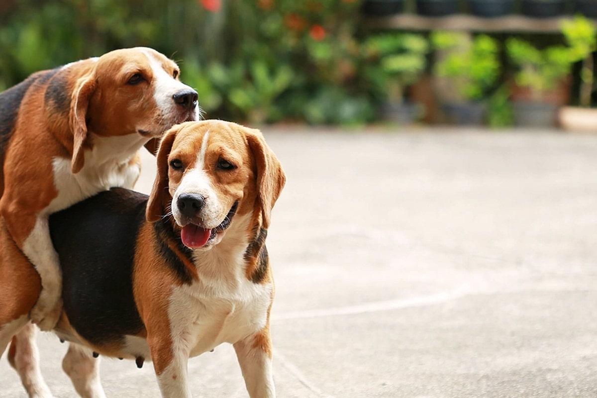 Los perros que sangran tras aparearse pueden tener problemas serios