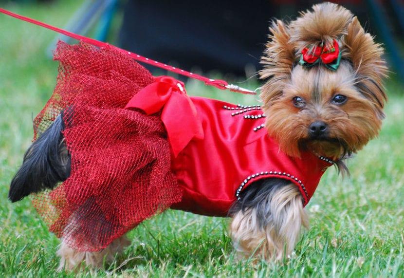 vestir a los perros
