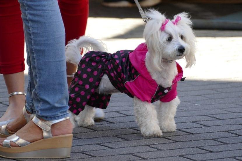 Vestir al perro