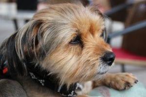 Perro de la raza Yorkshire Terrier