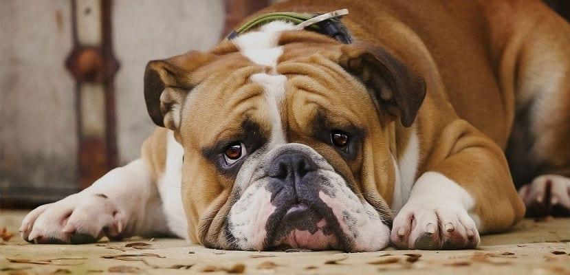 Bulldog tumbado en el suelo.