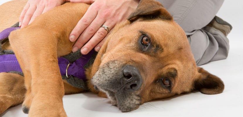 cómo saber si mi perro tiene Espondiloartrosis , síntomas