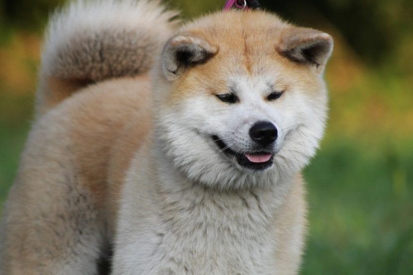 El perro Akita inu es uno de los más antiguos
