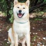 El Akita inu es un perro muy fiel