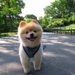 El cachorro de Akita inu necesita mucho cariño y ejercicio