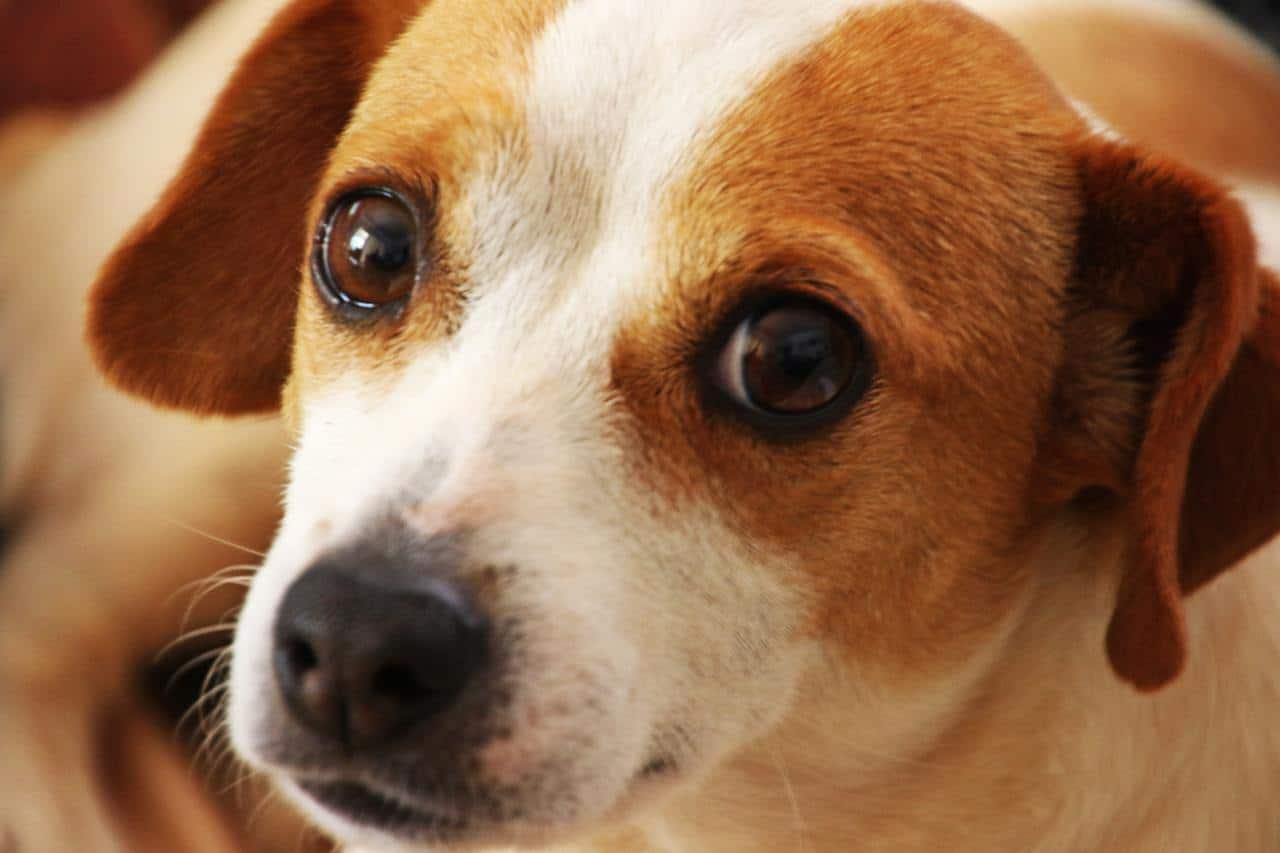 Los perros pueden tener los ojos llorosos