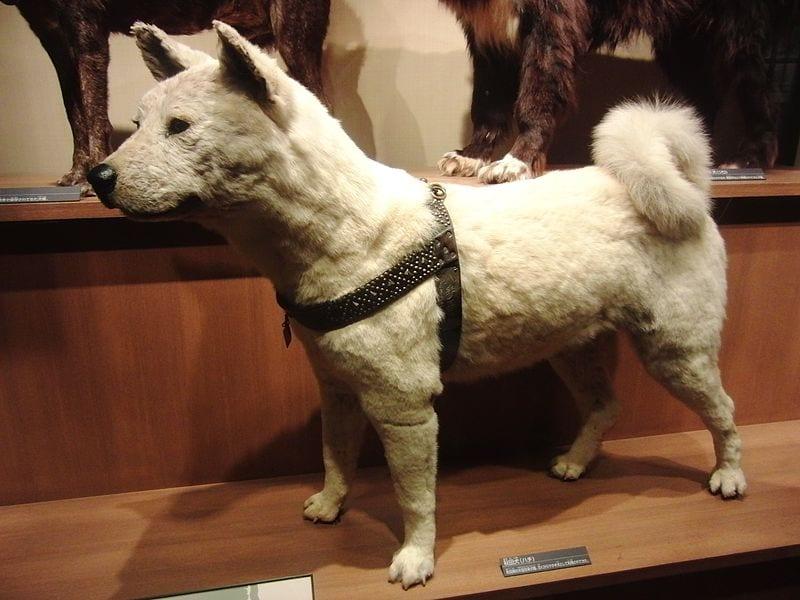 Restos de Hachiko expuestos en un museo de Tokio
