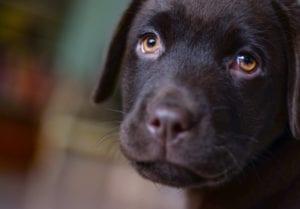 Perro labrador triste