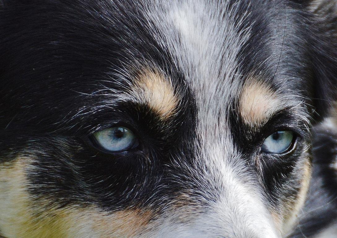 El lagrimeo de los ojos en los perros no siempre es un problema