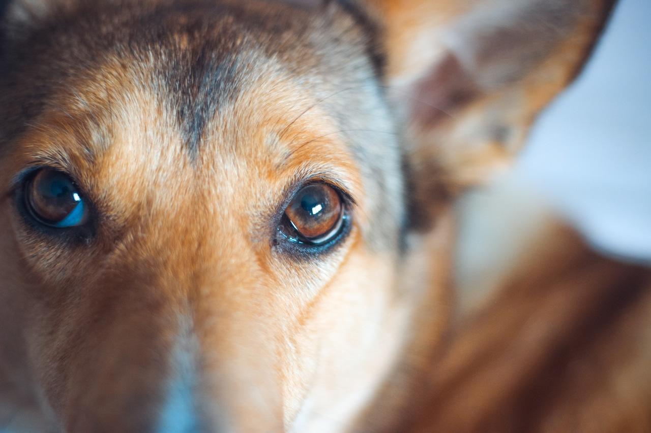 Los ojos llorosos de un perro pueden ser síntoma de enfermedad