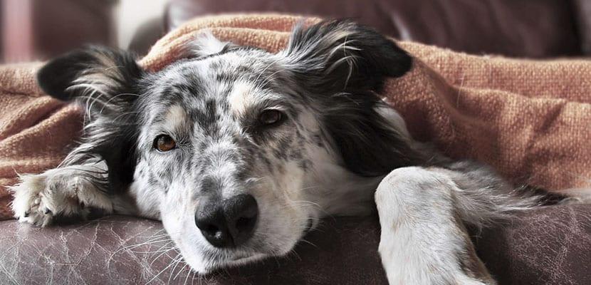 Perro enfermo por parvovirus canino