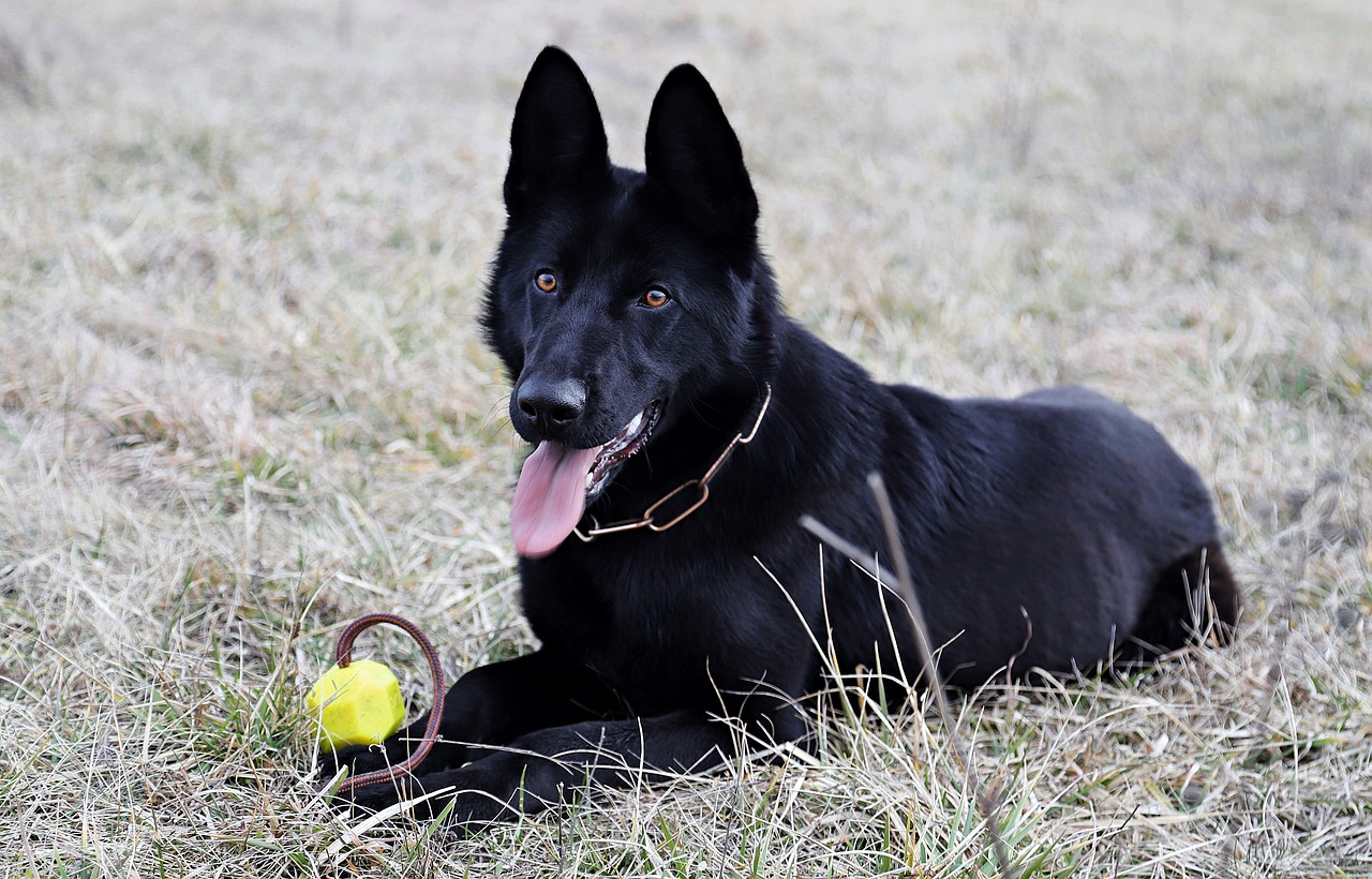 El perro pastor alemán negro es un animal enérgico