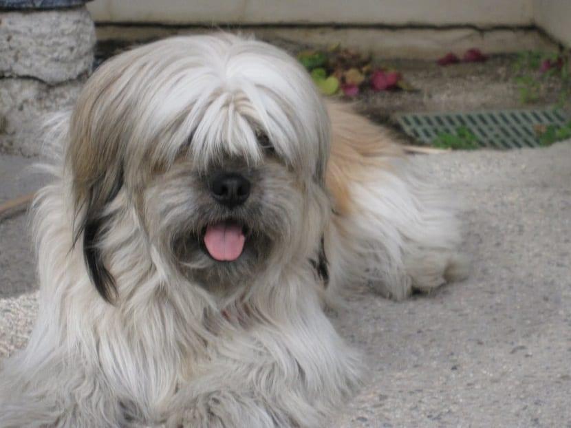 Tipos de pelo que tiene un perro