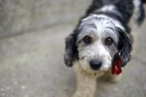 La enfermedad de Addison en los perros también la podemos conocer con el nombre de hipoadrenocorticismo