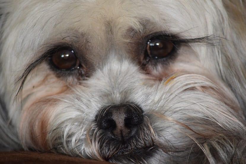 ojos llorosos en perros
