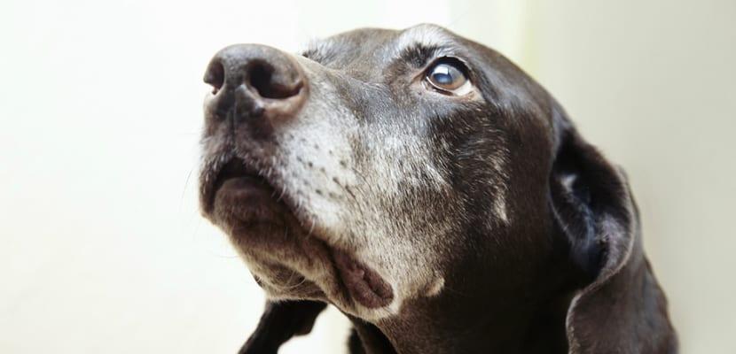Perro viejo con canas