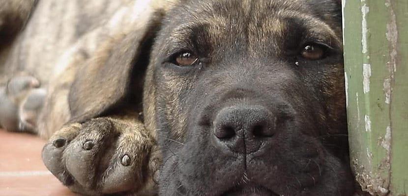 Cachorro enfermo