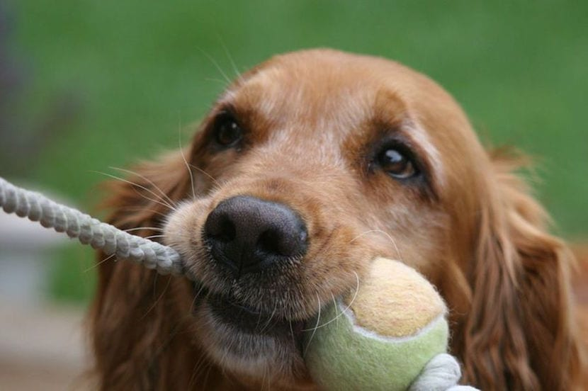 tira y afloja perro