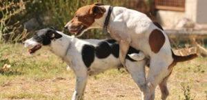 La conducta de monta es habitual en los perros.