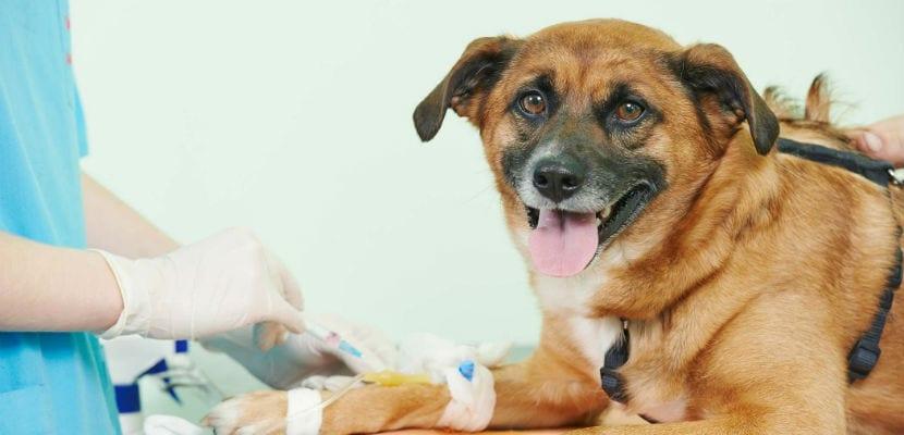 No todos los perros pueden donar sangre, pues deben cumplir con ciertos requisitos.