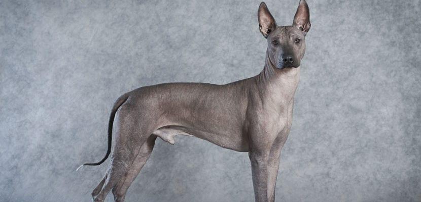 El xoloitzcuintle o perro sin pelo mexicano es una de las más antiguas.